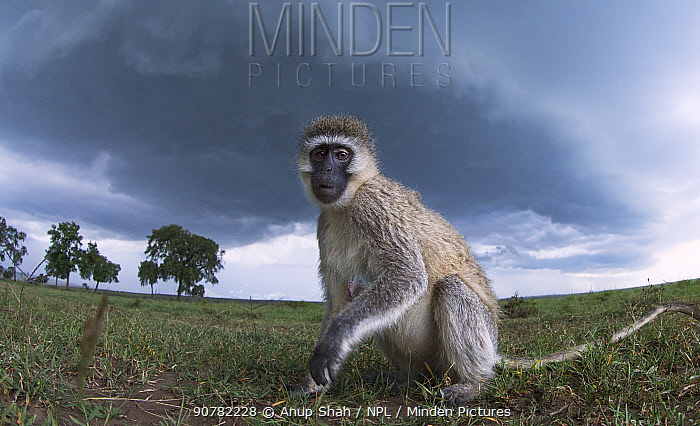 Vervet monkey (Cercopithecus aethiops) female watching with curiosity, taken with remote camera perspective.Maasai Mara National Reserve, Kenya.