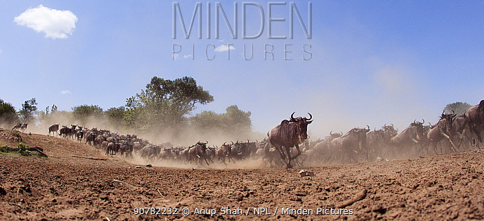 Eastern white-bearded wildebeest (Connochaetes taurinus) herd on the move, taken with remote camera. Maasai Mara National Reserve, Kenya.