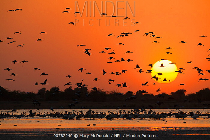Silhouettes of Demoiselle cranes (Grus virgo) flying at sunset with Rosy pelicans (Pelecanus onocrotalus) in foreground, Little Rann of Kutch National Park, Gujurat, Western India. March.