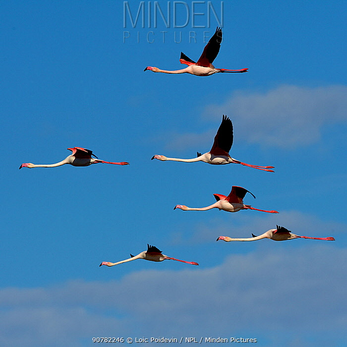 Greater flamingo (Phoenicopterus ruber) flock in flight,  Pont de Gau, Camargue, France, May.