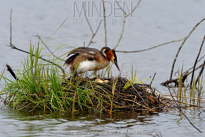 Great crested grebe (Podiceps cristatus) on nest, Brenne, France, May.