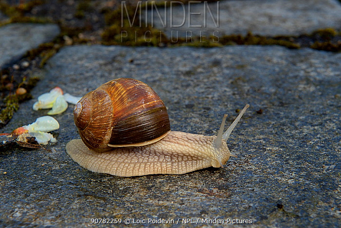 Roman snail (Helix pomatia) foraging, Lot, France, May.