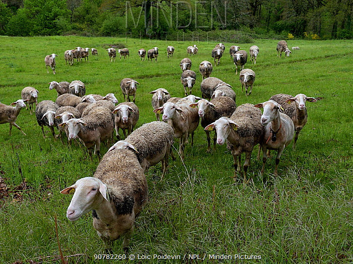Lacaune sheep, which produce milk for Roquefort Cheese, Aveyron, France, May.