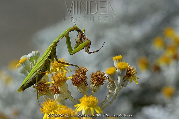 European mantis (Mantis religiosa) gravid female feeding on spider on  Silver ragwort (Jacobaea maritima) Vendee, France, September.