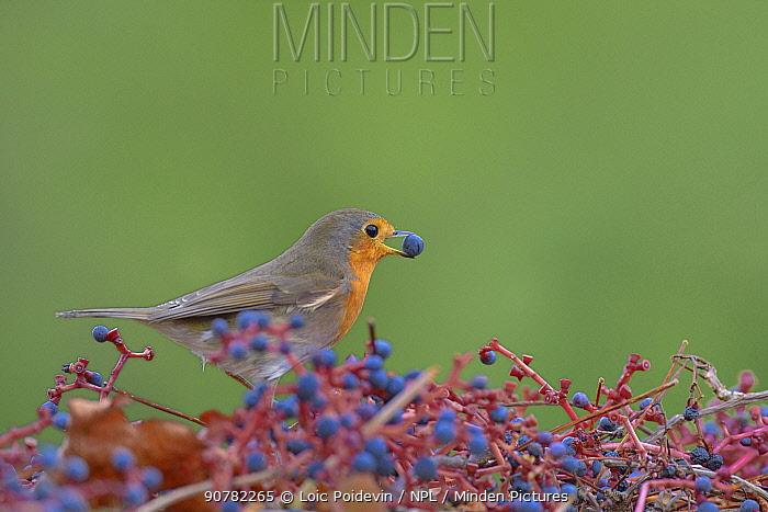 Eurobean robin (Erithacus rubecula) Vendee, France, November.