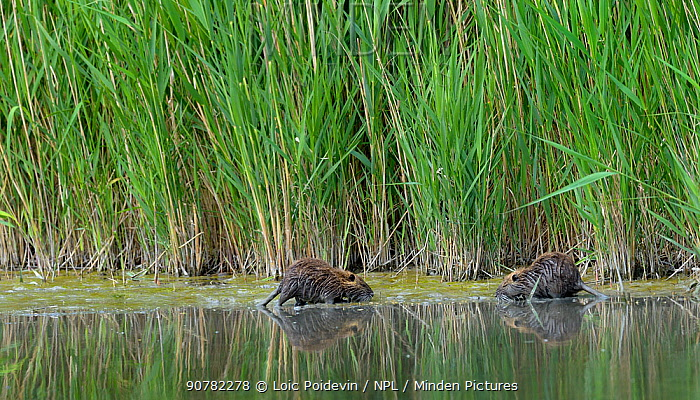 Coypu (Myocastor coypus) in water, Camargue, France, May. Introduced species.