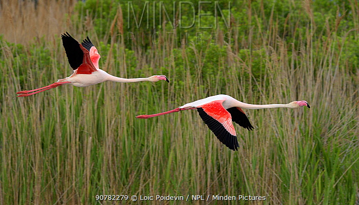 Greater flamingo (Phoenicopterus ruber) pair in flight,  Pont de Gau, Camargue, France, May.