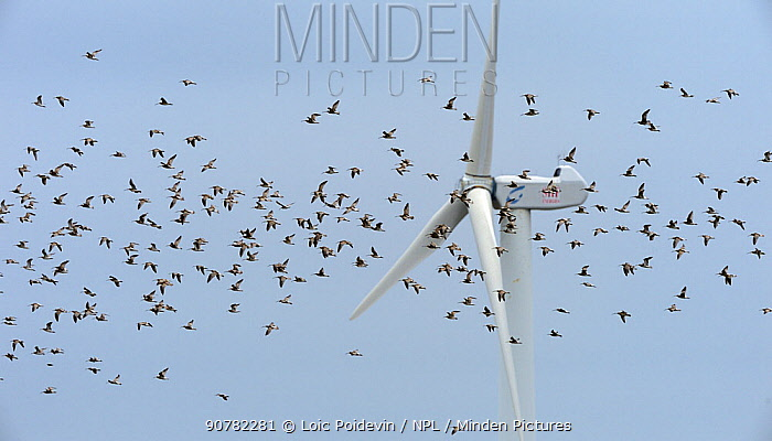 Eurasian curlew (Numenius arquata) flock  in flight, Vendee, France, September.