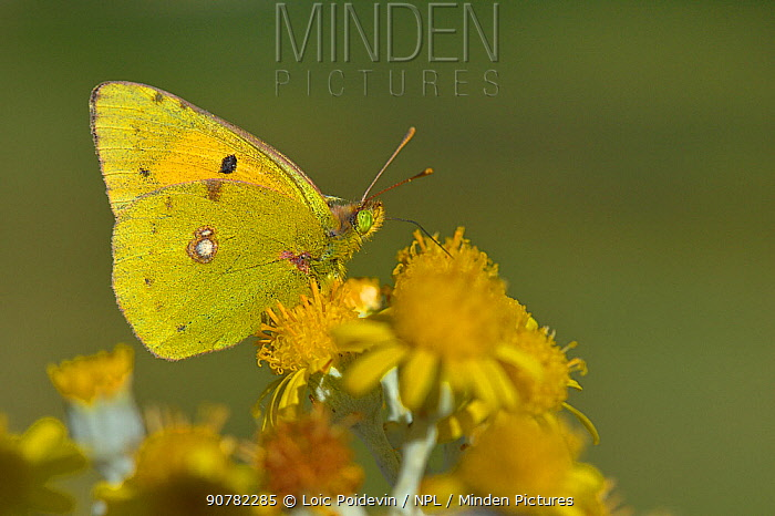 Dark clouded yellow butterfly (Coleas crocea) on flower, Vendee, France, October.