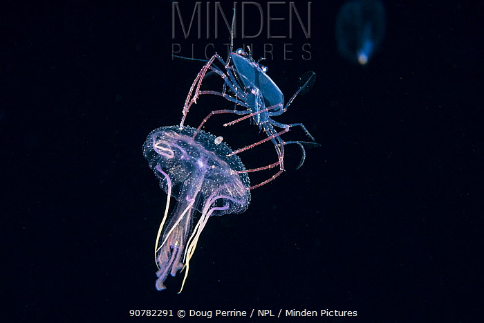 Phyllosoma larva of Spiny lobster (Palinurus sp) riding a Purple jellyfish (Pelagia noctiluca), at night in surface waters of the deep ocean off Kailua Kona, Hawaii,  August. The larval crustacean uses its cnidarian host both as a food source, and as a defensive weapon, spinning it around to deter predators with the stinging tentacles of the jellyfish.