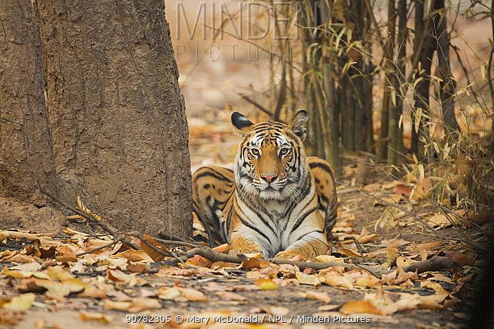 Bengal tigress (Panthera tigris tigris) resting amongst dead leaves, Bandhavgarh National Park, Madhya Pradesh, India. February.