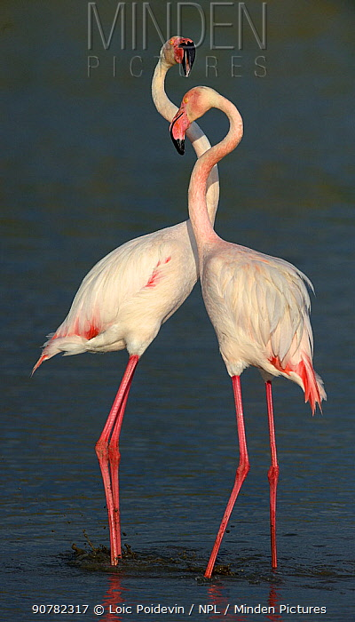 Greater flamingo (Phoenicopterus ruber) pair in courtship, Pont de Gau, Camargue, France, May.