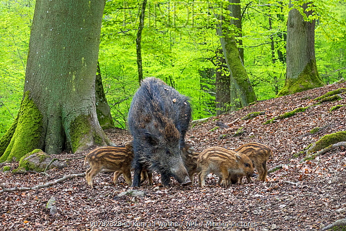 Wild boar (Sus scrofa) female with piglets, Germany, May.