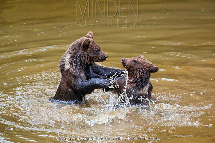 Young Brown bears (Ursus arctos) playing in water, Bavarian Forest National Park, Bavaria, Germany, August. captive