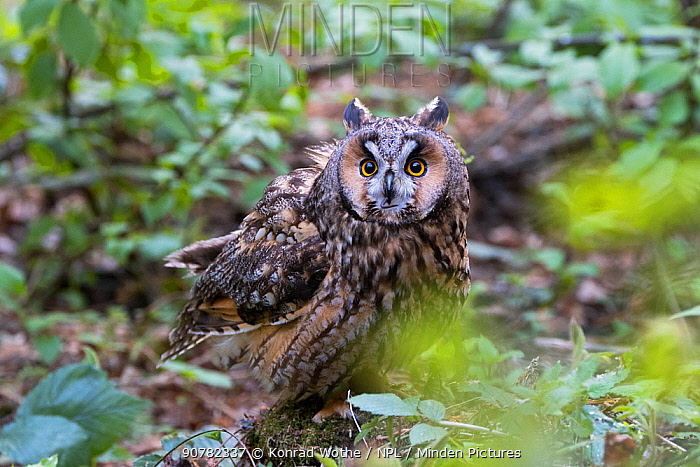 Long-eared owl (Asio otus) Bavarian forest National Park, Bavaria, Germany, May.