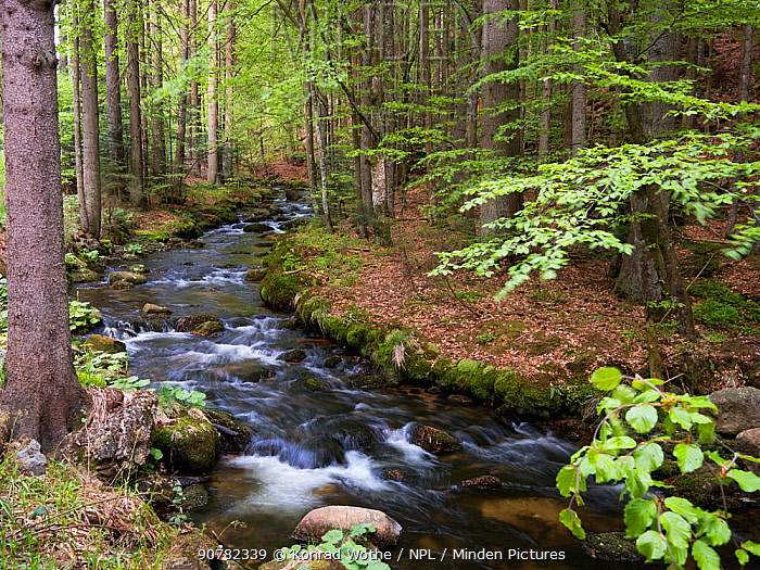 Kleine Ohe Creek flowing through forest, Bavarian Forest National Park, Germany, May.