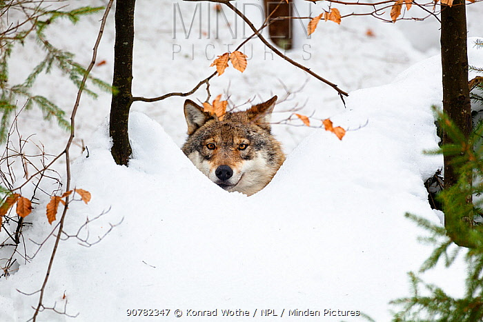 Wolf (Canis lupus) in snow, Bavarian Forest National Park, Bavaria, Germany, captive