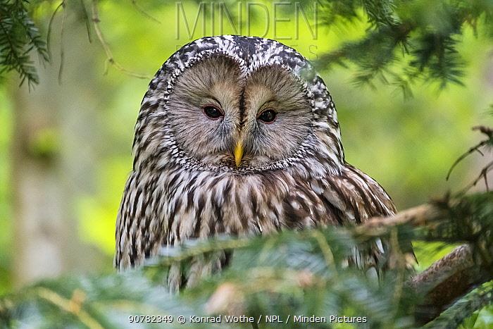 Ural owl (Strix uralensis) Bavarian Forest National park, Germany, May.
