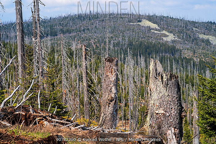 Dead forest hit by bark beetles, Lusen mountain, Bavarian Forest National Park, Germany, May.
