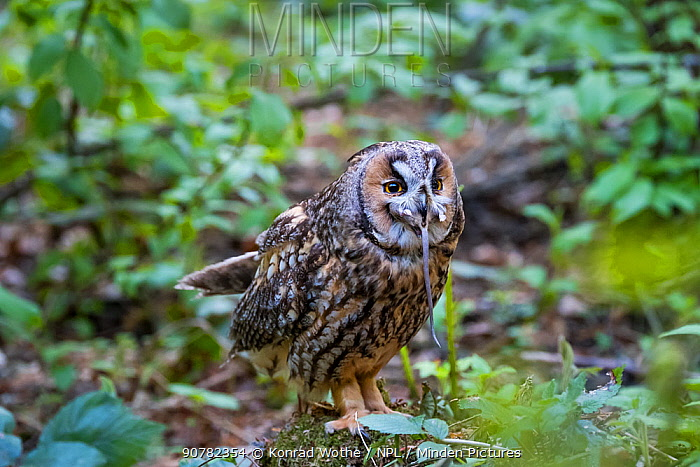 Long-eared owl (Asio otus) swallowing mouse, Bavarian forest National Park, Germany, May.