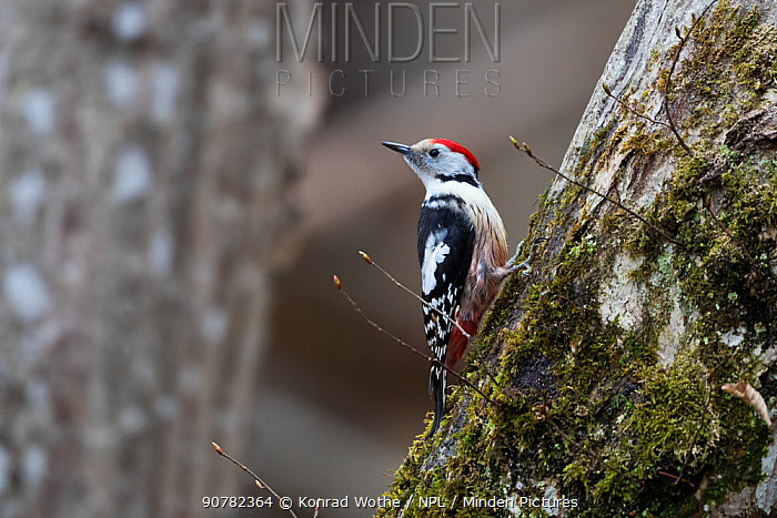 Middle spotted woodpecker (Dendrocopos medius) Bavaria, Germany. March.