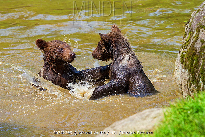 Young Brown bears (Ursus arctos) playing in water,  Bavarian Forest National Park, Germany, captive