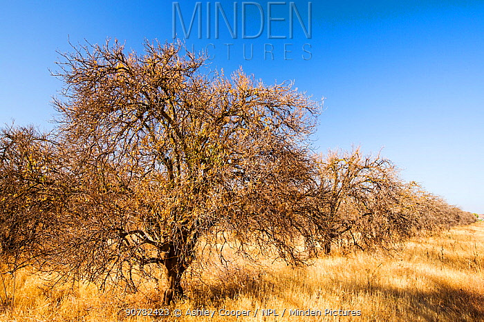 Abandoned dead and dying Orange trees that no longer have water to irrigate them near Bakersfield, California, USA. October 2014.