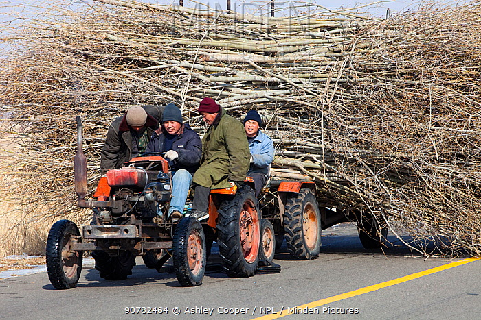 Chinese farmers hauling a  huge wide load of wood using a tiny tractor in Heilongjiang province, Northern China. March 2009.