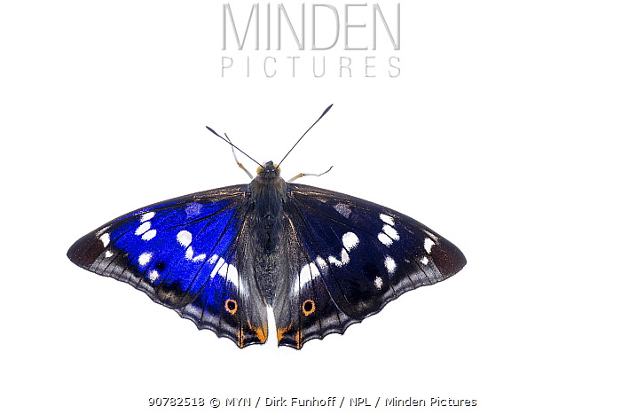Purple emperor butterfly (Apatura iris) showing irridescence on one wing due to angle of view,  Mannheim, Germany. June.