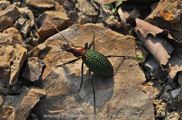 Beetle (Carabus schrencki) Lazovskiy Reserve, Sikhote-Alin Mountains, Far East Russia, April.