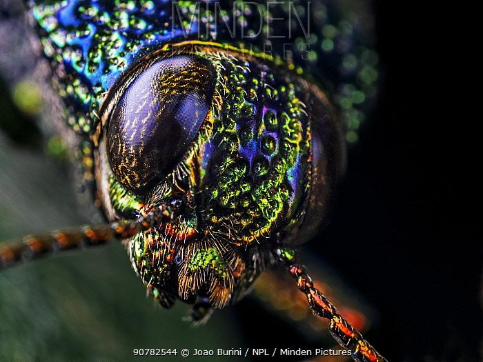 Close-up of a Metallic jewel beetle (Buspretidae) in Aiuruoca, Minas Gerais, Brazil. South-east Atlantic forest.