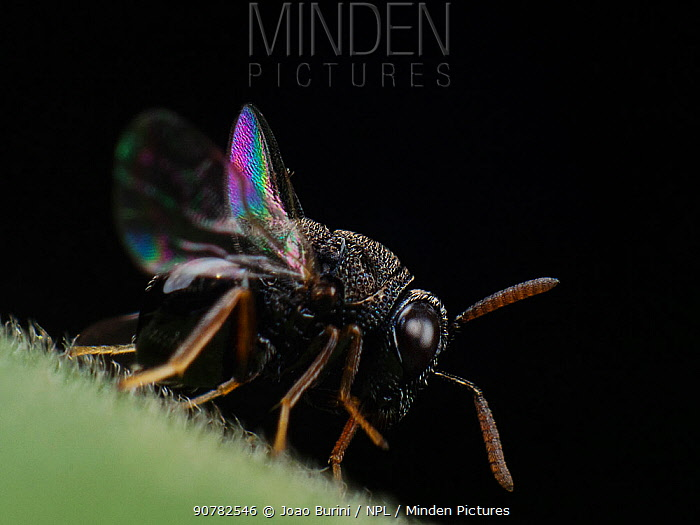 Parasitoid wasp (possibly Eucharitidae) with  iridescent wings display, Sao Paulo, Brazil. South-east Atlantic forest.