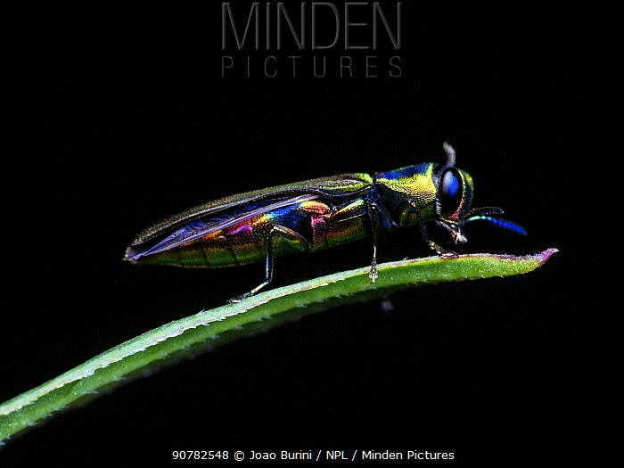 Rainbow jewel beetle (Agrilaxia sp) Sao Paulo, Brazil. South-east Atlantic forest.