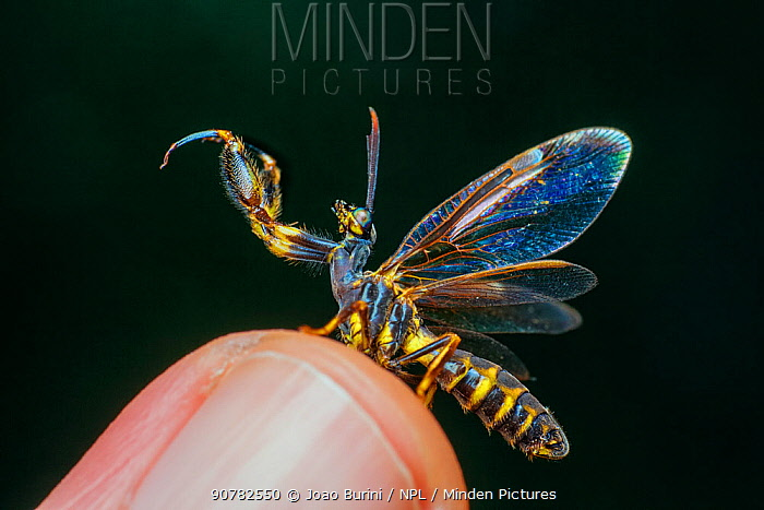 Mantidfly (Mantispidae)  displaying open wings on a fingertip, in Intervales State Park UNESCO World Heritage Site. Brazil. South-east Atlantic forest,