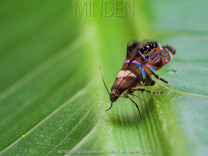 Iridescent moth  with jumping spider mimicking patterns, in Tapirai, Sao Paulo, Brazil. South-east Atlantic forest.