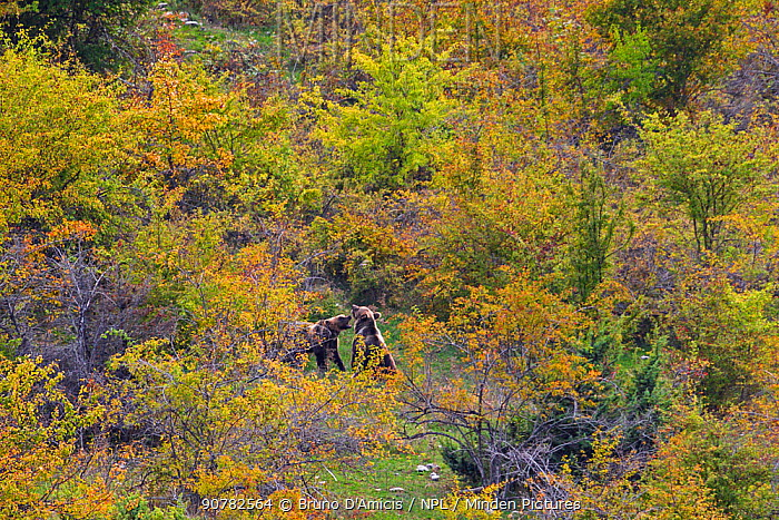 Apennine / Marsican brown bears (Ursus arctos marsicanus) playing in autumn foliage with dogrose (Rosa canina) bushes. Critically endangered subspecies. Central Apennines, Abruzzo, Italy, September.
