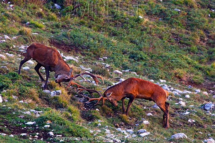Red deer (Cervus elaphus) stags fighting during the rut. Central Apennines, Abruzzo, Italy, October.