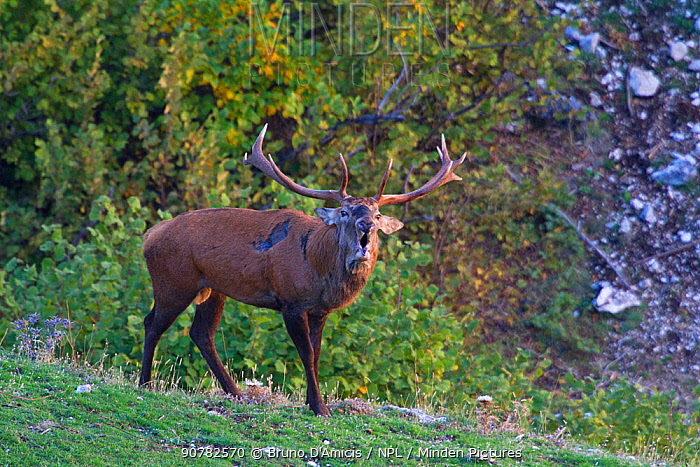 Red deer (Cervus elaphus) stag bellowing during the rut. Central Apennines, Abruzzo, Italy, October.