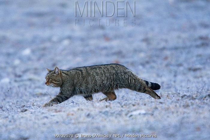 Wildcat (Felis silvestris) adult male crossing frosty meadow. Abruzzo, Central Apennines, Italy, February.