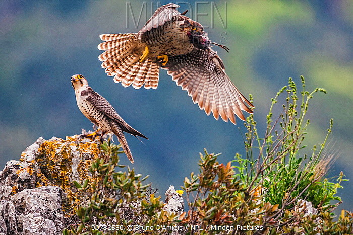 European Lanner falcon (Falco biarmicus feldeggi) prey exchange between adult male and larger female. Central Apennines, Italy, April.