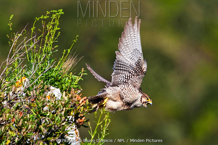 Lanner falcon (Falco biarmicus) adult female taking off. Central Apennines, Italy, April.