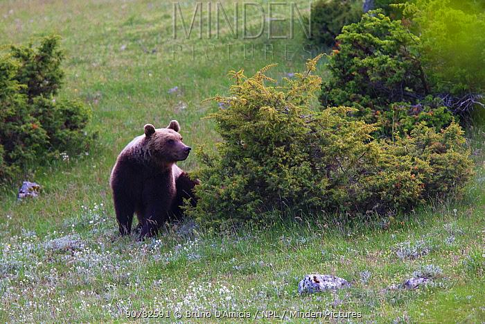 Marsican / Abruzzo brown bear (Ursus arctos marsicanus) adult in spring mountain meadow. Critically endangered subspecies. Central Apennines, Abruzzo, Italy, May. Medium repro only