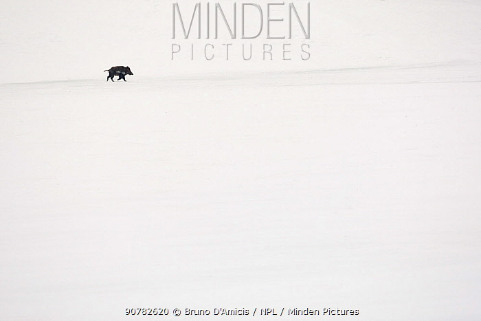 Solitary male wild boar (Sus scrofa) crossing snowy field. Abruzzo National Park, Central Apennines, Italy, February.