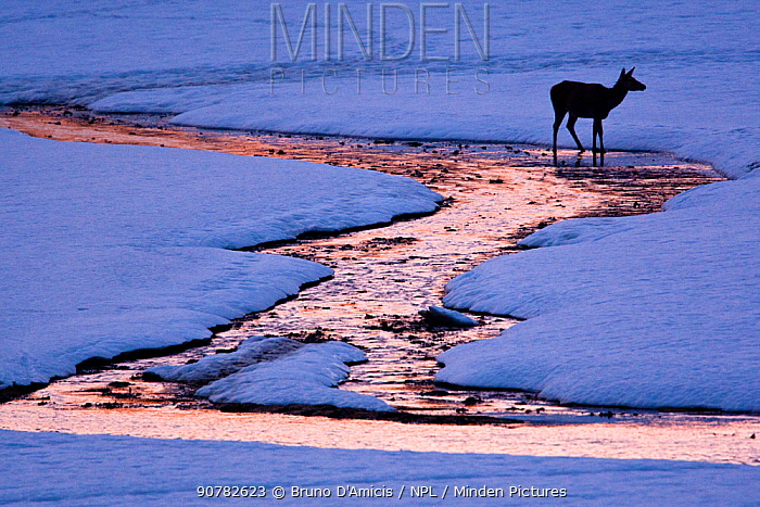 Red deer (Cervus elaphus) hind crossing small stream at sunset. Central Apennines, Abruzzo, Italy, February.