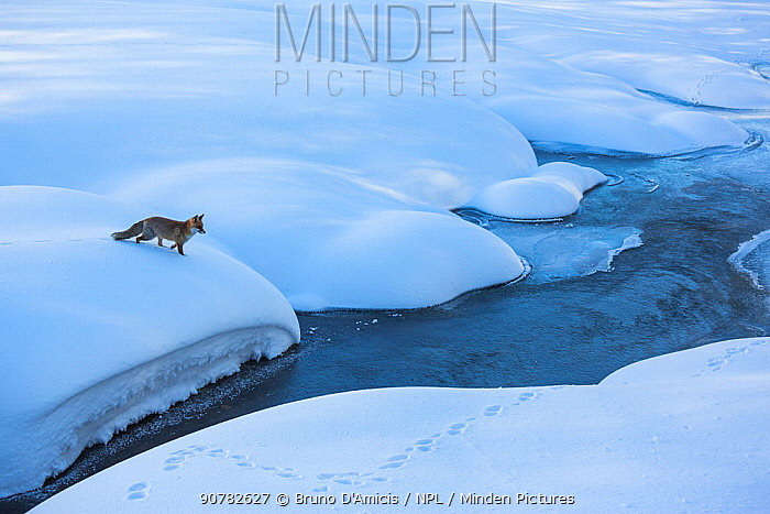 Red fox (Vulpes vulpes) in snowy landscape. Central Apennines, Molise, Italy, February.