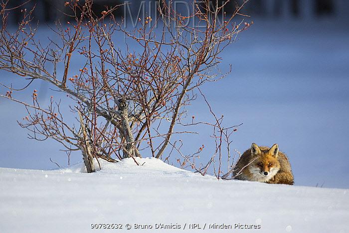 Red fox (Vulpes vulpes) lying next to Wild rose (Rosa canina) bush. Central Apennines, Molise, Italy, February.