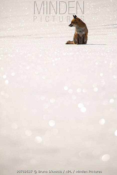 Red fox (Vulpes vulpes) sitting on snow. Central Apennines, Molise, Italy, February.