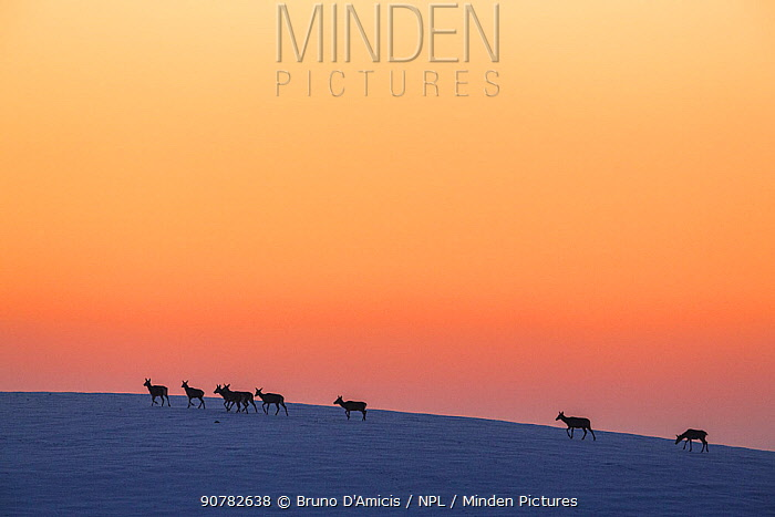 Herd of Red deer (Cervus elaphus) females and juveniles walking across a snowy hill at sunset. Central Apennines, Abruzzo, Italy, February.