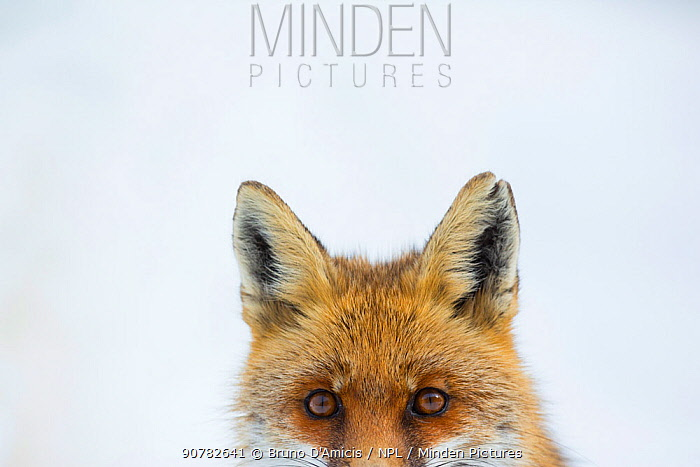 Red fox (Vulpes vulpes) portrait. Central Apennines, Molise, Italy, February.