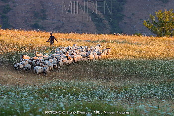 Abruzzo shepherd with his flock of sheep, crossing a summer meadow in evening light. Marsica, Central Apennines. Abruzzo, Italy, August.